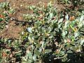 Rhododendron impeditum 03.JPG