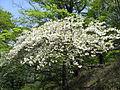 Rhododendron quinquefolium01.JPG