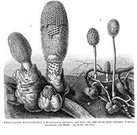 Rhopalocnemis+Helosis sp vMH371.jpg