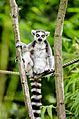 Ring-Tailed Lemur (19869649886).jpg