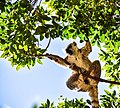Ring-tailed Lemur, Madagascar (20462539474).jpg
