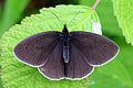 Ringlet butterfly (Aphantopus hyperantus) 1 spot newly emerged.jpg