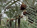 Ripe Dates in the Al Ain Oasis.jpg