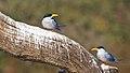 River Tern (5485347178).jpg