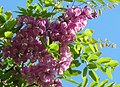 Robinia Purple Robe.jpg