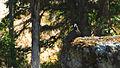 Rogue River Wildlife (15754194448).jpg
