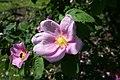 Rosa-majalis-flower.JPG