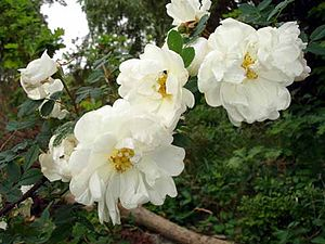 Rosa pimpinellifolia - Image: Rosa Pimpinellifolia Plena 1UME