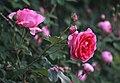 Rosa 'Parade'.jpg