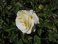 Rosa Chopin 2018-07-16 6273.jpg
