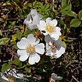 Rosa sempervirens L.-Églantier sempervirent-Fleurs-20210605.jpg
