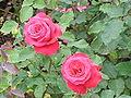 Rosa sp.22.jpg