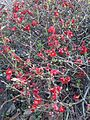Rosales - Chaenomeles japonica - Kew 1.jpg