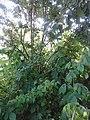 Rosales - Rubus idaeus - 3.jpg