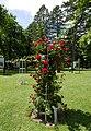Rosarium Baden Rosa 'Chevy Chase' Hansen 1939 02.jpg