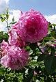 Rosarium Baden Rosa 'Heilige Elisabeth' Mark 1988.jpg