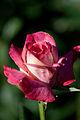 Rose, Lido di Roma - Flickr - nekonomania (1).jpg