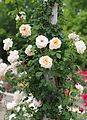 Rose, Pele, バラ, ペレ, (15875543315).jpg