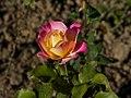 Rose 'Starion' hybride de thé.jpg
