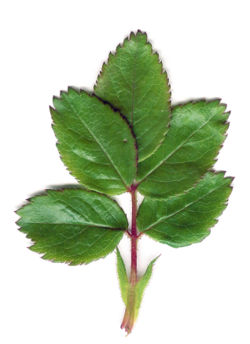 اوراق الاشجار 250px-Rose_Leaf.jpg
