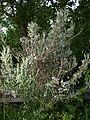 Rosmarinus officinalis 002.jpg