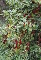 Rote Johannisbeeren (14765604276).jpg