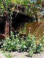 Rote Spornblume (Centranthus ruber) Grüne Brücke.jpg