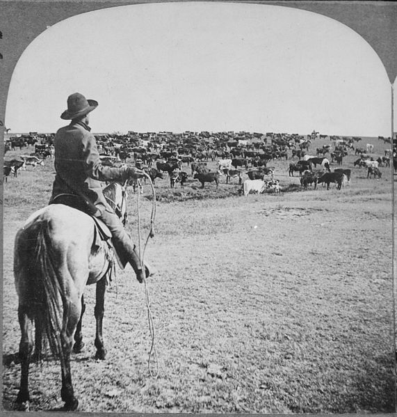 File:Roundup on the Sherman Ranch, Genesee, Kans. Cowboy with lasso readied looks beyond the herd on the open range to his fe - NARA - 533791.jpg