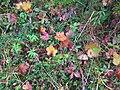 Rubus chamaemorus Sitka Alaska.jpg
