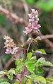 Rubus fruticosus in Tarn (2).jpg