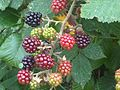 Rubus fruticosus wetland 10.jpg