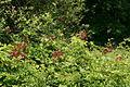 Rubus phoenicolasius 5449880.jpg