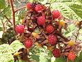 Rubus phoenicolasius R.H (28).JPG