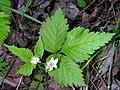 Rubus pubescens 3 (5097948924).jpg