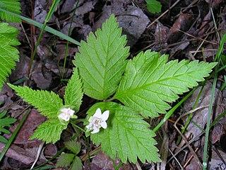 <i>Rubus pubescens</i> species of plant
