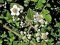 Rubus ulmifolius. Artu (flores).jpg