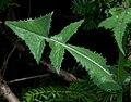 Sónchus oleráceus 4562.jpg