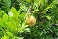 STLUC-muskat-frucht.jpg