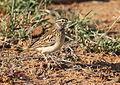 Sabota lark, Calendulauda sabota, at Mapungubwe National Park, Limpopo, South Africa (18126621120).jpg