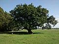 Saint-André-de-Bohon - L'arbre frottou, arbre remarquable.jpg