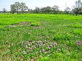 Saitama Tajimagahara Primula Sieboldii Primrose Habitat 3.jpg