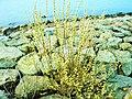 Salix caprea-8.JPG