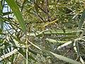Salix melanopsis (5001878680).jpg