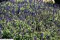 Salvia farinacea Victoria 1zz.jpg
