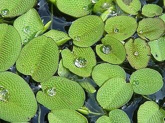 Salviniaceae - Salvinia natans