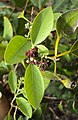 Santalum album leaves and flowers 02.JPG
