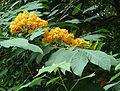 Saraca thaipingensis (14312506779).jpg