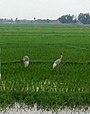Sarus Crane in Terai.jpg