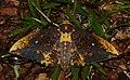 Saturnid Moth (Eacles guianensis) (37952955124).jpg