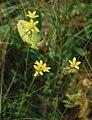 Saxifraga hirculus 2.jpg